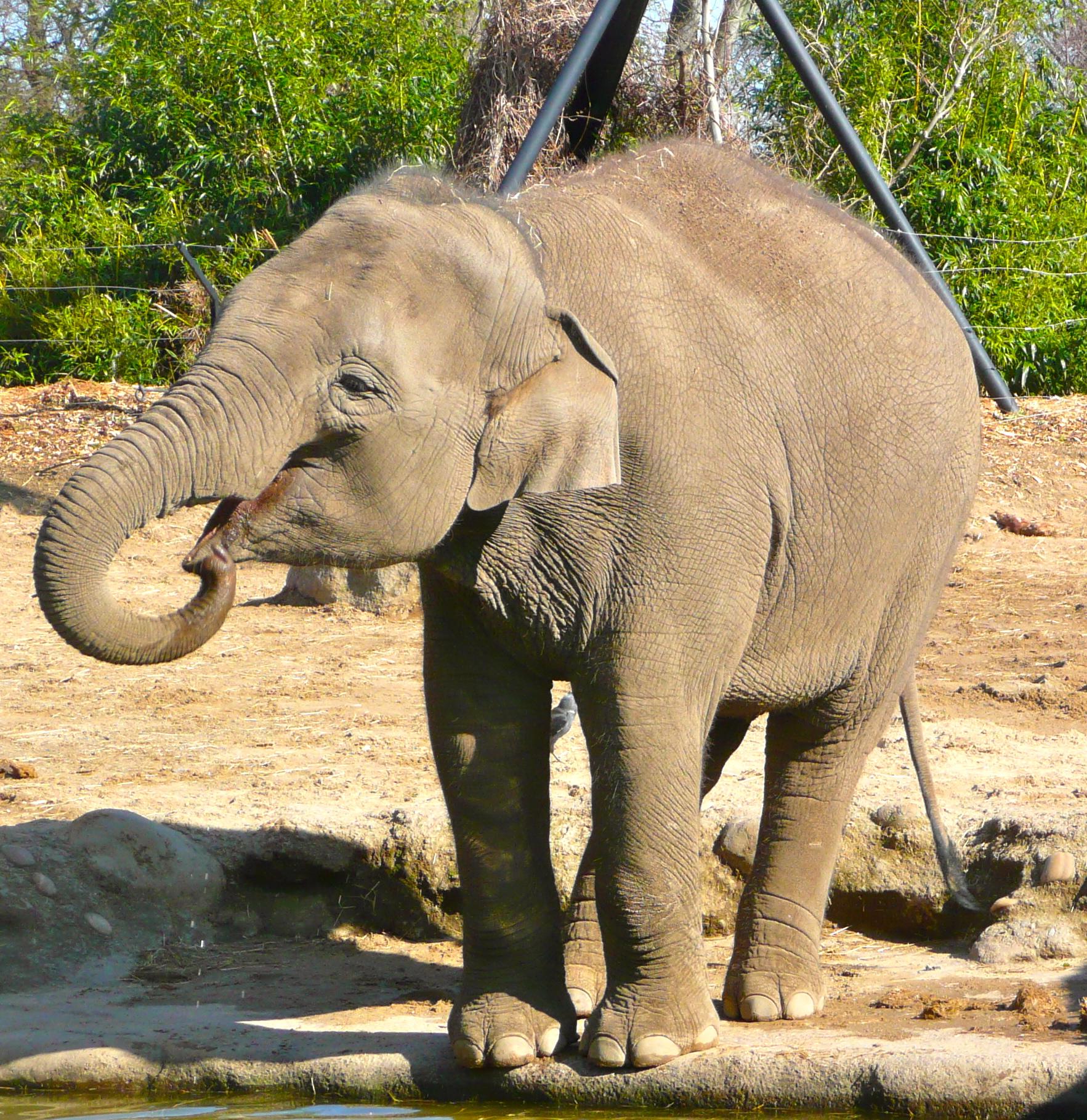 Members of the Hominidae Family take a Stroll in DUblin Zoo  Gitika